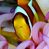 A funny clown fish faces trought his sea anemone protecting him in a exstraordinary symbiosis in a photography shooted in Red Sea during a fotosub competition